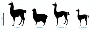 camelidi sudamericani